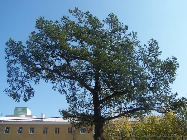 Ботанический памятник природы (лиственница сибирская)